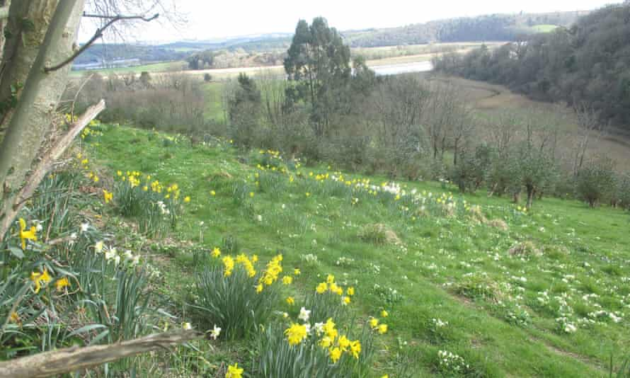 The old market garden with primroses, daffodils and eucalyptus, above the tidal river.