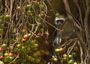 A vervet monkey eats wild fruit at the Amboseli national reserve at the foot of Mount Kilimanjaro, Kenya
