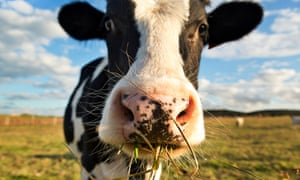 'A single cow, chewing a single cud of country' … a dairy cow chewing grass.