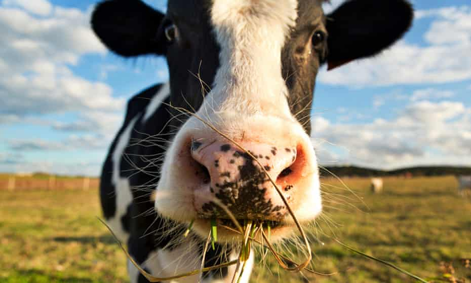 US dairy cows are regularly implanted with hormones that are banned in the EU.