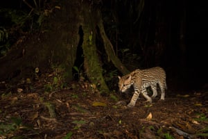 Overall winner: On the trail, ocelot during the night in Peru, by Christopher Beirne.