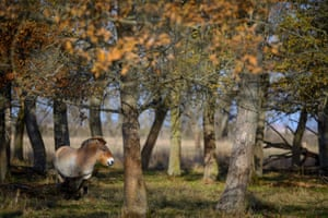 A Przewalski's horse in Hortobagy national park, Hungary