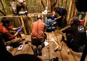 Czech and German vets artificially inseminate a five-year-old Asiatic lion called Gini at Prague Zoo. It is the first time the procedure has been carried out on the endangered species.