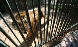A tiger is seen inside an enclosure at a zoo in Khan Younis in the southern Gaza Strip.