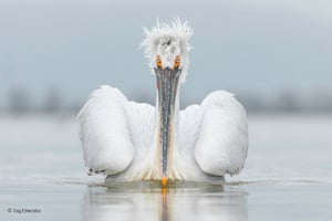 Eye contact by Guy Edwardes (UK)  The Dalmatian pelican, seen here on Lake Kerkini, Greece, is the largest species of pelican in the world. It is native to eastern Europe, Russia and Asia, however, its population is currently threatened in some areas from hunting, water pollution and habitat loss, particularly a decline in wetlands.