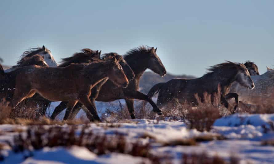 A herd of feral horses in Kosciuszko national park