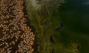The Murray-Darling Basin Authority is predicting more mass fish kills this summer as conditions are on par with those that led to mass deaths at Menindee a year ago.