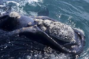 North Atlantic right whale callosities.