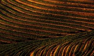 A terraced hillside cabernet sauvignon vineyard in Sonoma county, California.