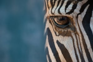 Nick Dale, runner-up The right eye of a Grévy's zebra in close-up at the Parque de la Naturaleza de Cabárceno, near Santander, northern Spain.   PAUL GOLDSTEIN JUDGE: Good, very good, I have seen these before but rarely done with this competence. The depth of field is spot on and the bold cropping and blue to the left intriguing. Nice one – zebra are easy to photograph but not often this well.
