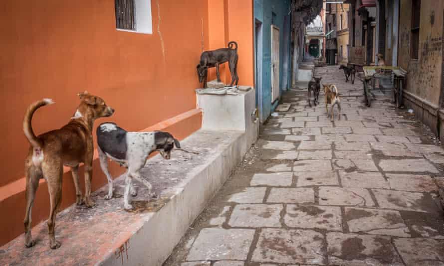 Stray dogs in Varanasi, India.