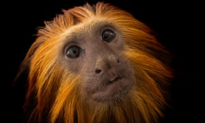 An endangered golden-headed lion tamarin (Leontopithecus chrysomelas) at the Dallas World Aquarium