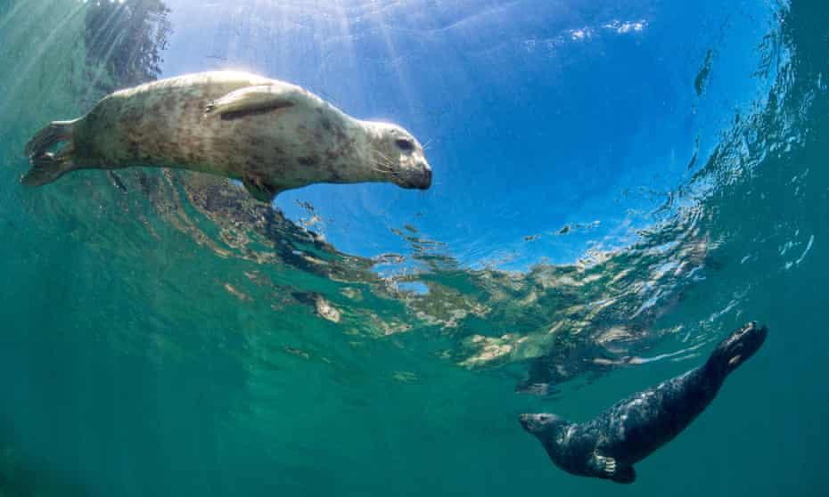 Curious young grey seals.