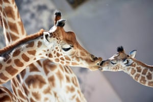 A baby Niger giraffe kisses his mother at the La Flèche zoo, north-west France