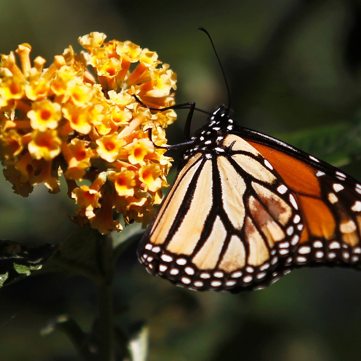 It S A Sad Reality A Troubling Trend Sees A 97 Decline In Monarch Butterflies Us News The Guardian