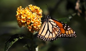 A monarch butterfly clings to a plant. Over the last two decades, monarch numbers in the West have declined.