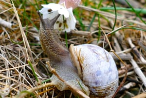 A snail drinks from the flower of a bladder campion along the seawall at Keyhaven Marshes in Hampshire, UK