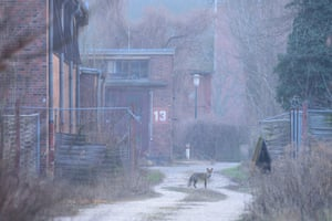 A red fox waits amid the abandoned buildings in Spandau, Berlin.