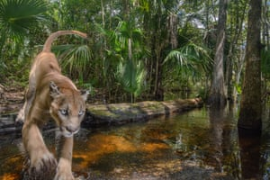 A panther leaps over a creek in the Florida Panther National Wildlife Refuge in the Everglades – the last refuge of the subspecies