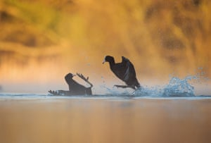 Coots fighting by Andrew Parkinson, Derbyshire, UK