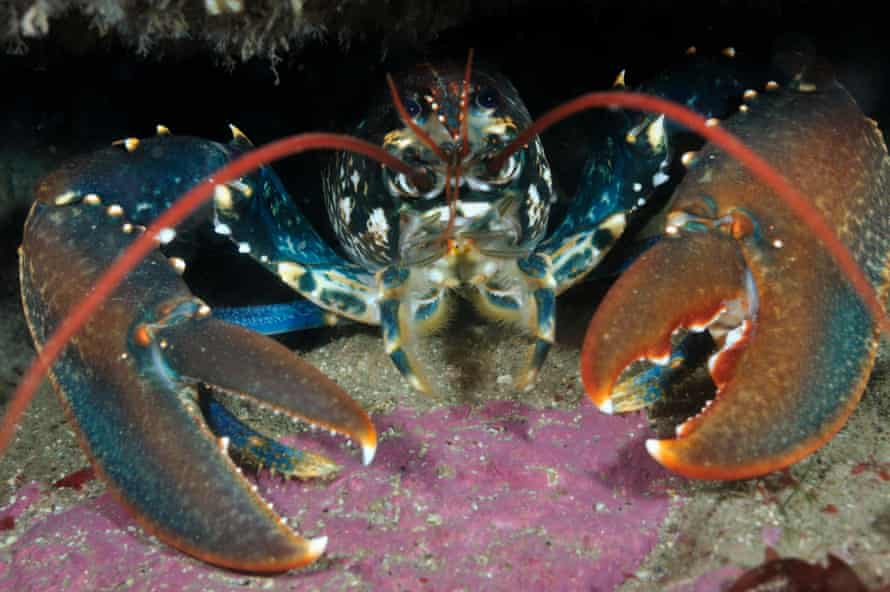 Common Lobster in a rock crevice in Lundy Island Marine Conservation Zone, Devon.