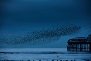Starlings over the beach