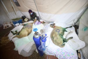 Sheep receive treatment at a field hospital in Turkey following severe wildfires.