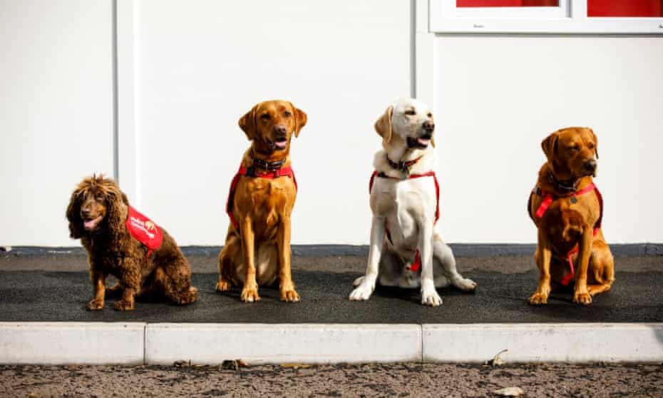 Asher, Belle, Tala and Florin training at Medical Detection Dogs.