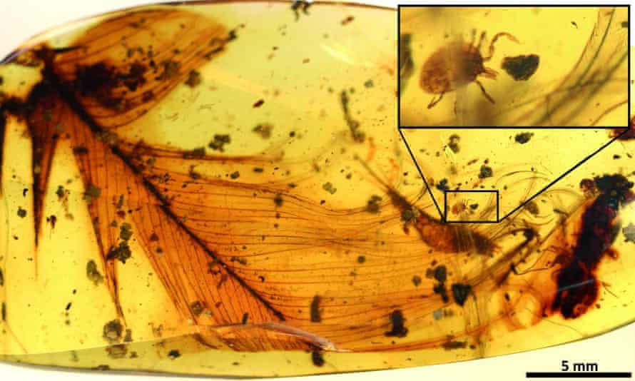 A tick grasping a dinosaur feather preserved in a piece of 99 million-year-old Burmese amber.