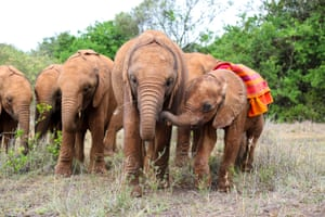 """An emaciated orphaned elephant calf that was rescued from the wild after tourists spotted him struggling in """"Nairobi, Kenya"""