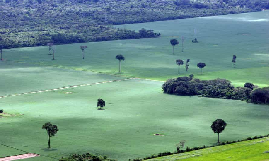 A soy plantation in Amazon rainforest near Santarem in Brazil, with a few isolated Brazil nut trees remaining.