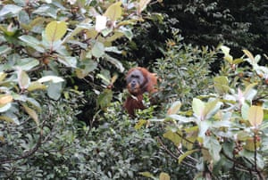 A Sumatran orangutan in the forest area of Lake Lau Kawar in North Sumatra, Indonesia