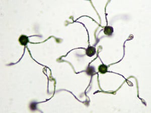 Horsetail spores under a microscope