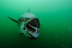 Giant Bluefin Tuna in the wild off Prince Edward Island in Canada feeds on herring beneath a fisherman's boat