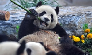 TO GO WITH STORY China-animal-quake-panda (FILES) In a file picture taken on May 24, 2008, a giant panda enjoys bamboo at a zoo in Beijing after being evacuated from the famed Wolong breeding centre in southwest China's Sichuan province due to food shortages and damage caused by a powerful earthquaje on May 12, 2008. Sixty giant pandas who were transferred to zoos around China after last year's devastating earthquake in Sichuan province destroyed their home are set to return in 2012, state media reported on September 20, 2009.  AFP PHOTO/TEH Eng Koon (Photo credit should read TEH ENG KOON/AFP/Getty Images)
