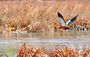 A ruddy shelduck flies over Lalu wetland in Lhasa