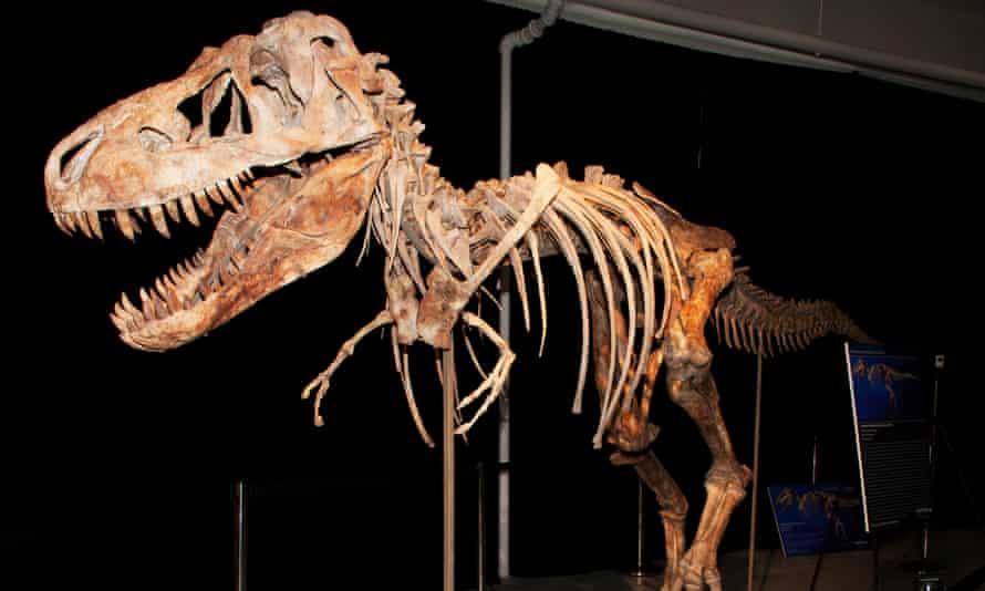 The skeleton of a Tyrannosaurus bataar dinosaur. Actor Nicolas Cage has handed back the skull of a bataar that had been stolen from Mongolia.