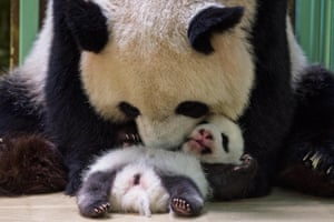 The female panda Huan-Huan cuddles her cub Fleur de Coton after breastfeeding her in their box at The Beauval zoo in Saint-Aignan-sur-Cher, France.