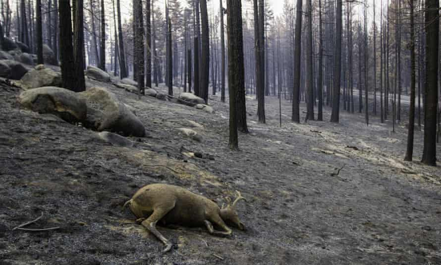 One of the millions of casualties of the Dixie fire.