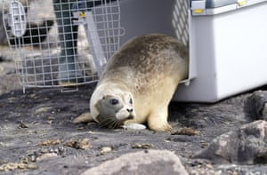 A seal called Lonne crawls out of his transport box. The seal station in Friedrichskoog, Germany has released the first seal of the season. The animal was found following a premature birth on 11 May with a weight of 8.6kg. Lonne now weighs 25.4kg. Other small seals will also be returned to the wild in the coming days and weeks.