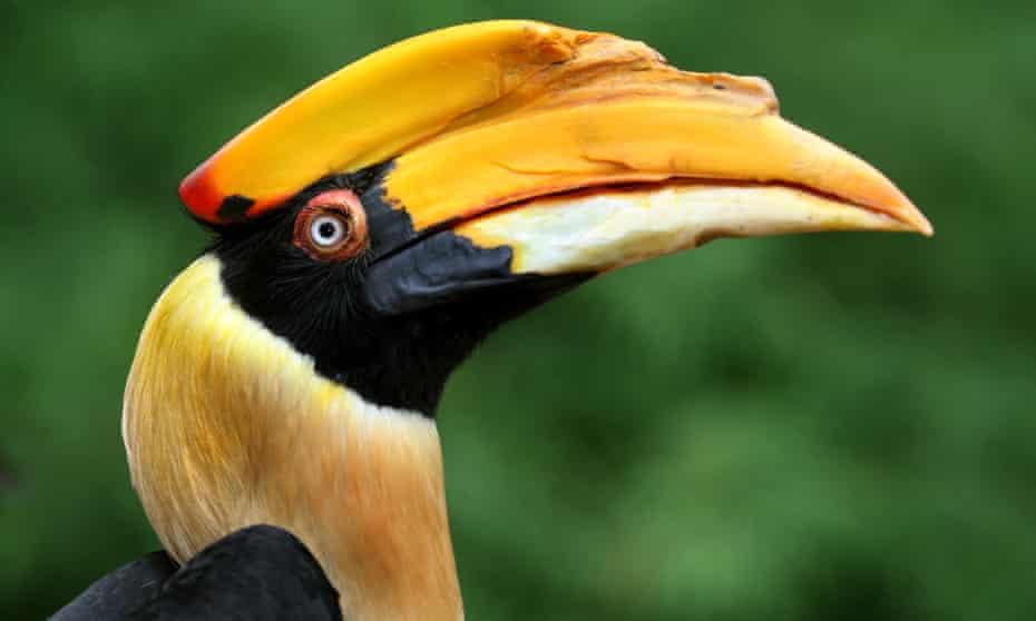 A great hornbill.