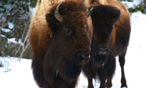 About 600 bison now live within the Grand Canyon region, and biologists say numbers could hit 1,500 within 10 years if left uncontrolled.