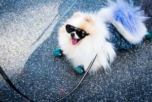 A dog in sunglasses