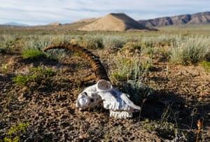 Gazelle's skull