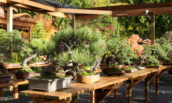 Learning to grow: the American bonsai master who starved for ...