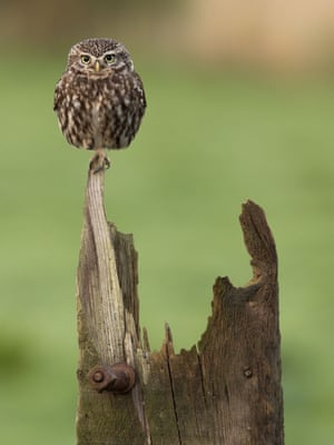 Animal portraits highly commended (2017): Balancing Act (Little owl) by Ian Watson, Kirkbride, Cumbria