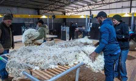 Wool classers sort merino fleece