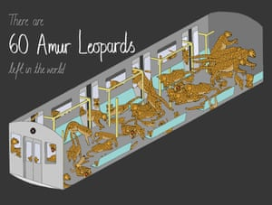 There are approximately 60 Amur leopards left in the world