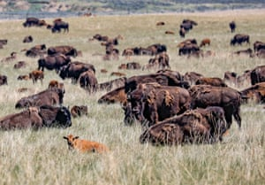 Wyoming, US: A herd of buffalo grazes near the town of Wright