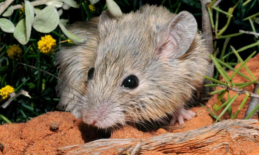 The 'extinct' Gould's mouse was indistinguishable from the Shark Bay mouse, which is found on several small islands off the coast of Western Australia